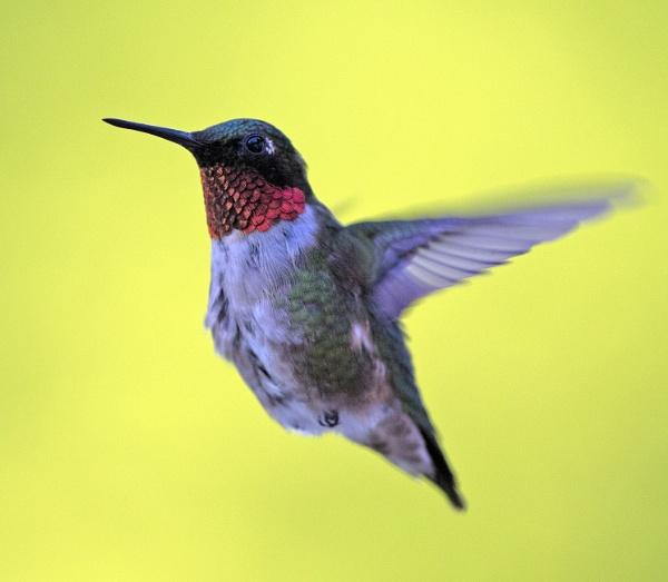 Ruby throated Hummingbird by stu8fish