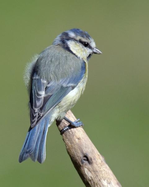 Beautiful Blue Tit by Holmewood