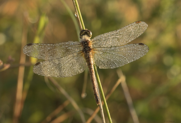 Ruddy Darter 2017 by ade123