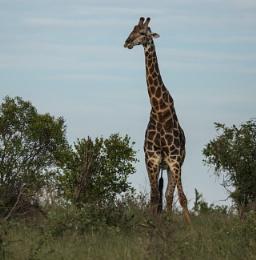 Giraffe in the evening light