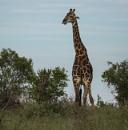 Giraffe in the evening light by RobertTurley