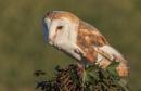 A Barn Owl by RobertTurley