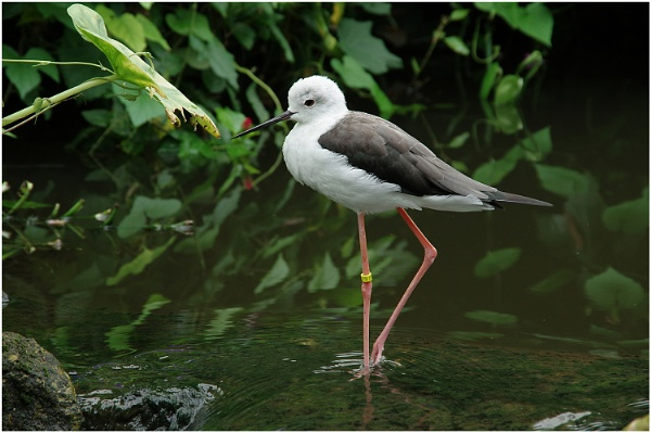Black-winged stilt by johnriley1uk