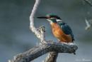 Kingfisher Female, by trevrob