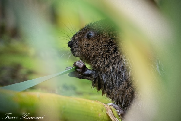 WATER VOLE by trevrob