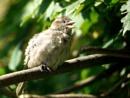 Sunbathing sparrow by DerekHollis