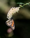 Monarch's have Arrived by taggart
