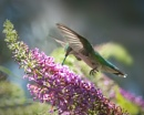 Hummingbird by taggart