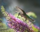 Hummingbird by taggart