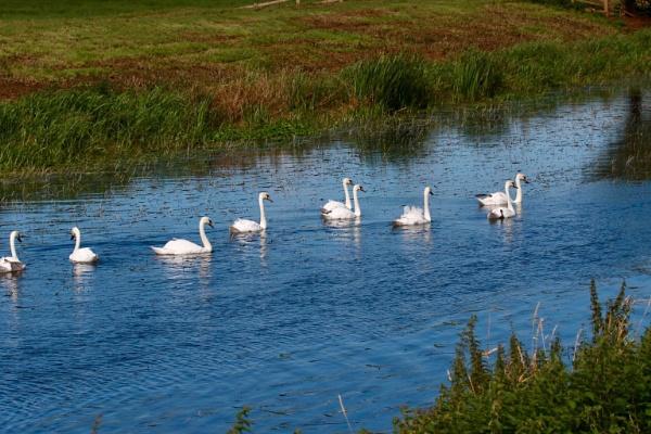 Somerset Swans by Lencollard