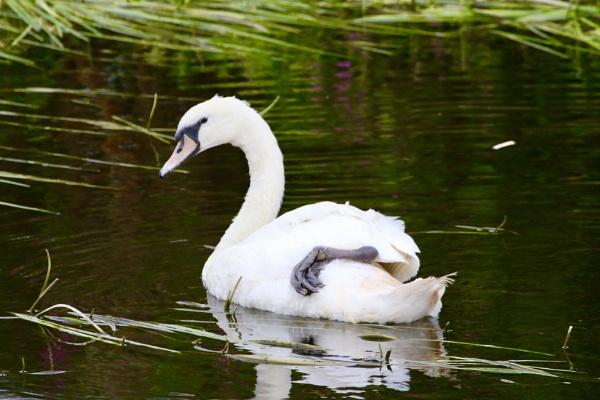 swan by Lencollard