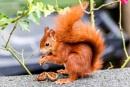 Cute Red Squirrel by aldasack1957