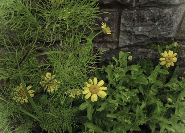 Yellow flowers by BillRookery