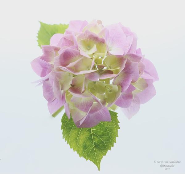 Hydrangea by canoncarol