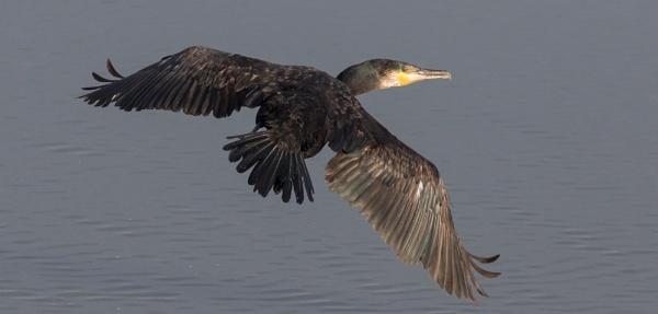 Cormorant \'Phalacrocorax carbo\' by SocksAndStuff