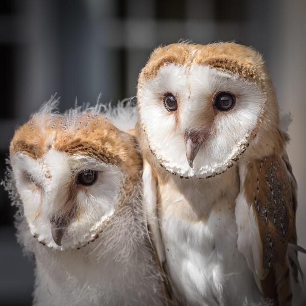 Owlchicks by Bigpoolman