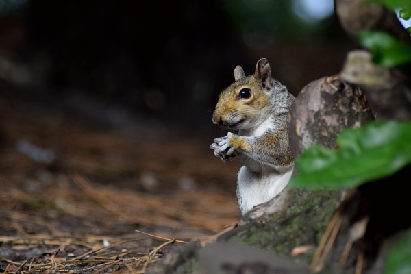 Grey squirrel by Danielle1487