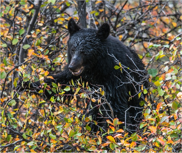 Black Bear by dven