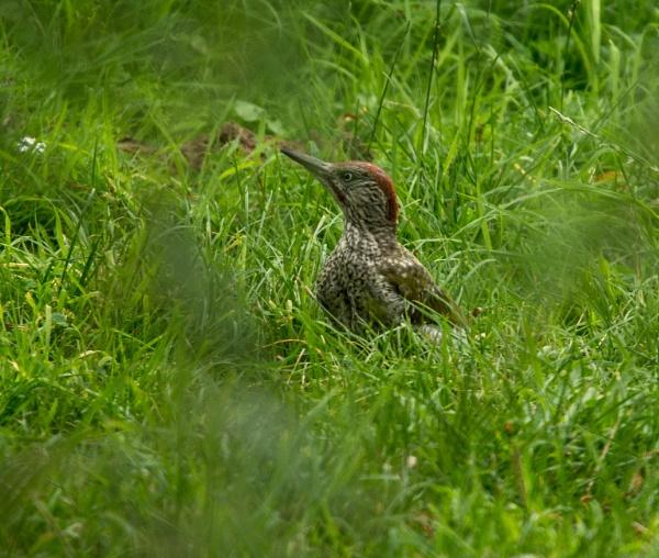 green woodpecker by madbob