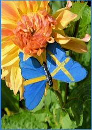 Photo : Swedish Butterfly ?