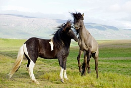 Wild horses would drag me back to Iceland