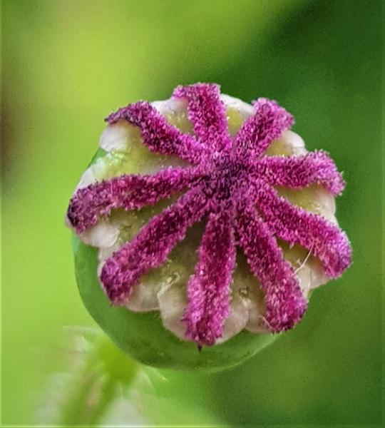 Tiny Poppy seed head by rosej