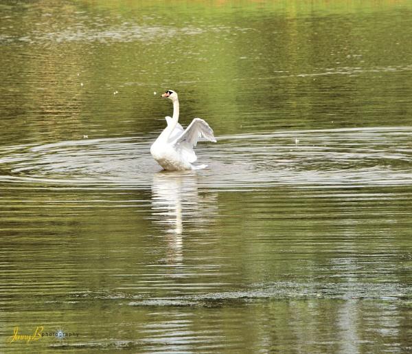 Swan by jb_127