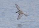 Juvenile Tern in Flight by NeilSchofield