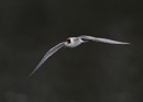Juvenile Tern in Flight by NeilSchofield