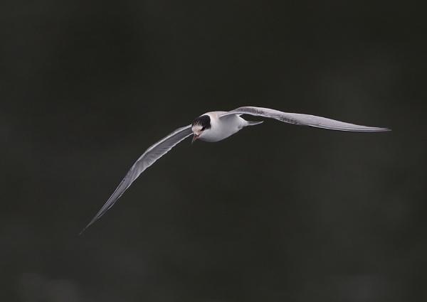 Juvenile Tern in Flight