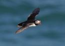 Puffin in Flight by NeilSchofield