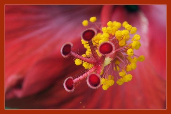 Hibiscus Stigmas by prabhusinha
