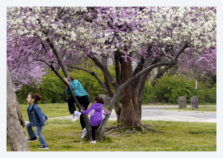 Blooming Children Cherry Blossom