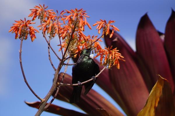 Tui Bird by TheDreamSeeker