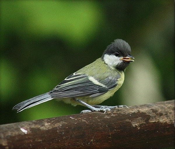 Teenage Great tit by HobbitDave