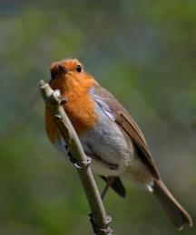 Caddington Lake robin