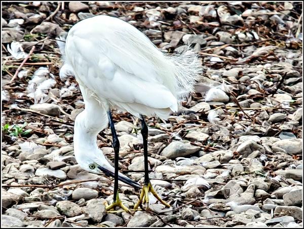 Little Egret (Egretta garzetta) by delboy85