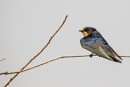 A Swallow resting on a branch by WorldInFocus