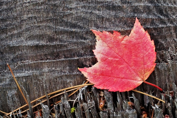 Maple leaf on wood by kc0gio