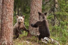 Hide and seek European Brown Bear cubs  at play.