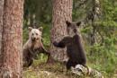 Hide and seek European Brown Bear cubs  at play. by rontear