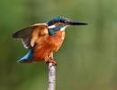 Kingfisher by bluetitblue