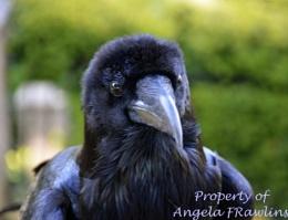 Raven Black Adder II