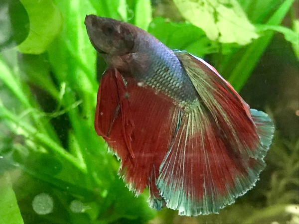 Monet - Siamese fighting fish by hippysnapper