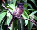 Do all birds sing ? by debu