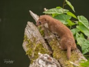 Weasel by Terry L
