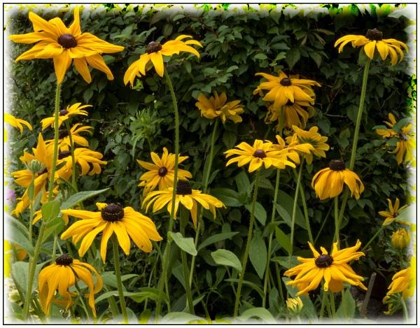 later Summer garden  Rudbeckias by derekp