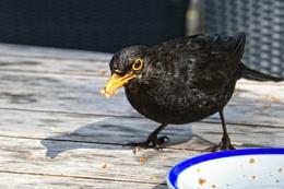 Greedy Blackbird