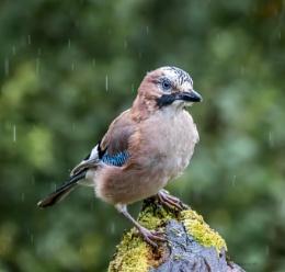 rainy jay