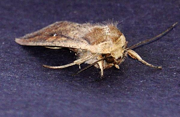 Moth  Fuzz by tonyguitar